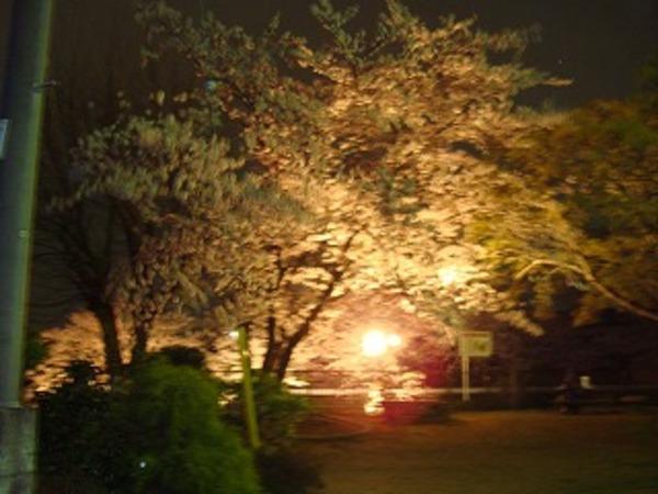 木更津、矢那川 夜桜のサムネイル